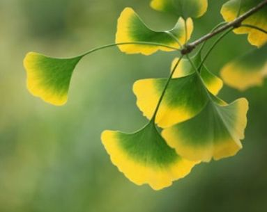 Ginkgo Biloba's Beauty Benefits