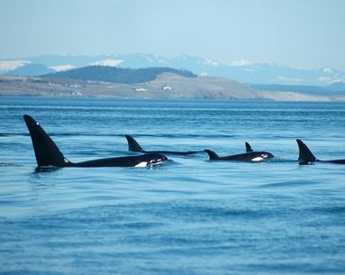 Killer Whales Help Explain Why We Experience Menopause